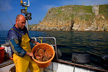 Fisherman with a full basket of Edible crabs (Cancer pagurus) and Spiny spider crabs (Maja squinado), caught using pots, with an old tin mine on cliffs in the background, Trewavas Head, Cornwall, Engl...  -  Toby Roxburgh/ 2020V/ npl