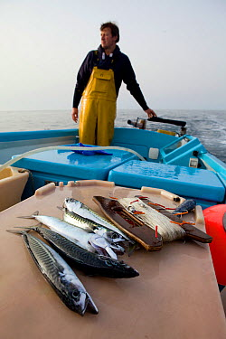 Handline caught Atlantic mackerel (Scomber scombrus), on a small fishing boat with fisherman holding the tiller behind, Cornwall, England, UK, April 2011 Model released  -  Toby Roxburgh/ 2020V/ npl