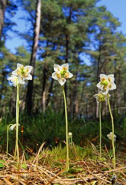 One-flowered wintergreens (Moneses uniflora) flowering, Easter Ross, Scotland, June  -  Laurie Campbell/ npl