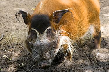 Red river hog (Potamochoerus porcus) captive  -  Edwin Giesbers/ npl