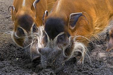 Red river hogs (Potamochoerus porcus) foraging in mud, captive  -  Edwin Giesbers/ npl