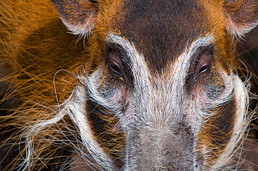 Red river hog (Potamochoerus porcus) close up of head, captive  -  Edwin Giesbers/ npl