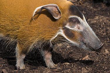 Red river hog (Potamochoerus porcus) profile portrait, captive  -  Edwin Giesbers/ npl