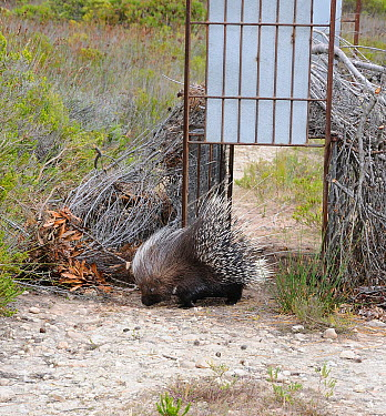 African, Cape crested porcupine (Hystrix africaeaustralis) released from leopard trap, DeHoop NR, Western Cape, South Africa, December  -  Tony Phelps/ npl