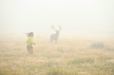 Silhouette of Red deer (Cervus elephus) stag in mist, with woman jogger running past in foreground, Richmond Park, London, England, UK, October 2011  -  Terry Whittaker/ 2020V/ npl