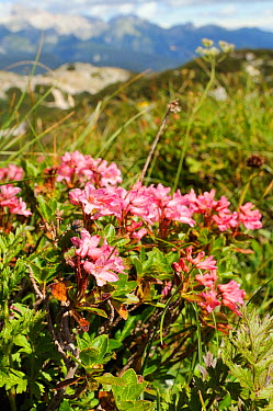 Hairy alpenrose (Rhododendron hirsutum) flowering clump among grasses at 1750m near Mount Vogel, Triglav National Park, Julian Alps, Slovenia, July  -  Nick Upton/ npl