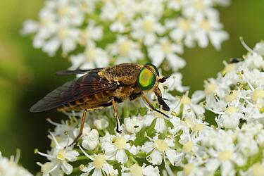Very large female Horse fly (Philipomyia aprica) feeding from Common hogweed (Heracleum sphondylium) flowers, Julian Alps, Slovenia, July  -  Nick Upton/ npl