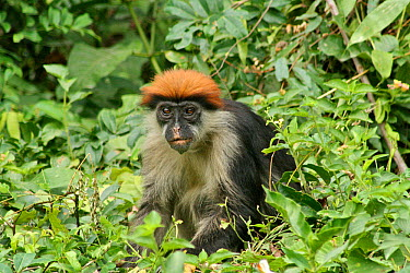 Udzungwa red colobus monkey (Procolobus gordonorum) adult male, Udzungwa Mts NP, Tanzania, July, endangered species  -  Tom Struhsaker/ npl