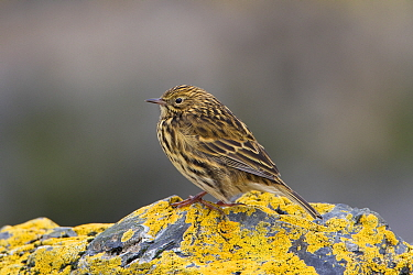 South Georgia Pipit (Anthus antarcticus) endemic, Prion Island, South Georgia, February  -  Ingo Arndt/ npl