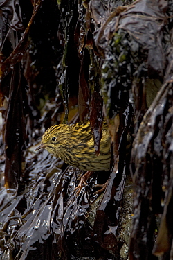 South Georgia Pipit (Anthus antarcticus) feeding in kelp during low tide, endemic, Prion Island, South Georgia, February  -  Ingo Arndt/ npl