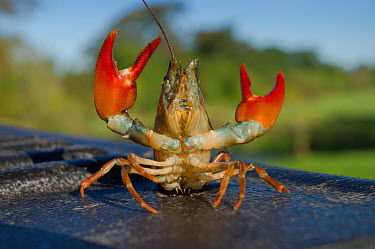 Signal Crayfish (Pacifastacus leniusculus) in defensive posture after being caught by The Tweed Foundation monitoring the species population and spread on the River Till, Northumberland, England, Unit...  -  Rob Jordan/ 2020V/ npl