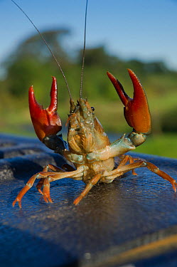 Signal crayfish (Pacifastacus leniusculus) in a defensive posture after being caught by The Tweed Foundation monitoring the species population and spread on the River Till, Northumberland, England, UK...  -  Rob Jordan/ 2020V/ npl