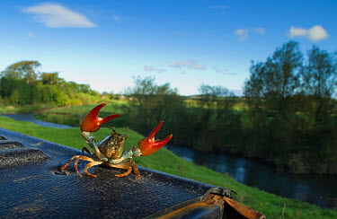 Signal crayfish (Pacifastacus leniusculus) in a defensive posture after being caught by The Tweed Foundation monitoring the species population and spread, with the River Till in the background, Northu...  -  Rob Jordan/ 2020V/ npl