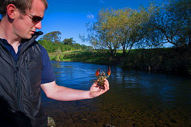 Signal crayfish (Pacifastacus leniusculus) being held by 2020VISION Young Champion Shaun Robertson working as a field assistant for The Tweed Foundation monitoring the species population and spread, R...  -  Rob Jordan/ 2020V/ npl