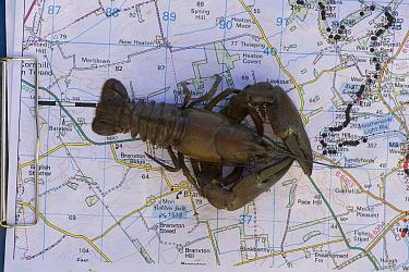 Signal Crayfish (Pacifastacus leniusculus) placed on a population spread monitoring map, River Till, Northumberland, England, UK, October  -  Rob Jordan/ 2020V/ npl
