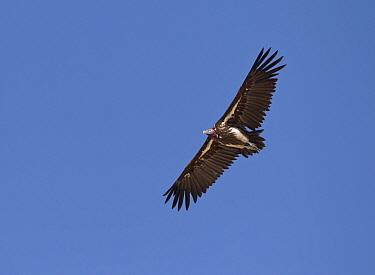 Lappet faced vulture (Torgos tracheliotus) adult in flight, Etosha National Park, Namibia October  -  Tony Heald/ npl