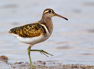 Painted snipe (Rostratula benghalensis) male profile,  -  Tony Heald/ npl