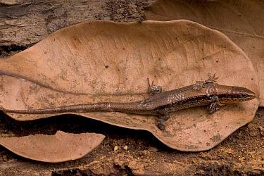 Beddome's skink (Mabuya beddomei) camouflaged on fallen leaf, Western Ghats, Southern India  -  Sandesh Kadur/ npl