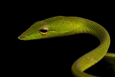 Common Vine snake (Ahaetulla nasuta) Western Ghats, Southern India  -  Sandesh Kadur/ npl