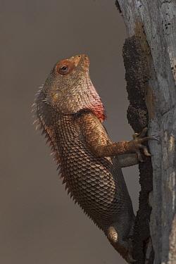 Garden lizard (Calotes versicolor) Western Ghats, Southern India  -  Sandesh Kadur/ npl