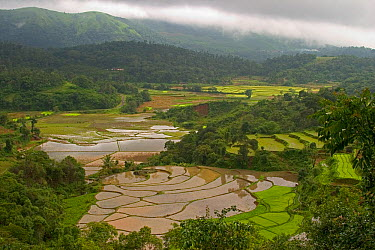 While mountain slopes are mostly used for plantations of coffee and tea, lowland areas are used to cultivate rice in paddy fields, which requires land that can retain water Western Ghats, Karnataka, S...  -  Sandesh Kadur/ npl
