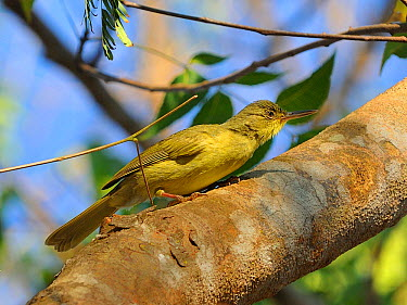 Tetraka common, Long billed greenbul (Bernieria madagascariensis) perched on tree trunk, Madagsacar  -  Loic Poidevin/ NPL