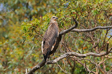 White bellied Sea eagle (Haliaeetus leucogaster)  -  Dave Watts/ npl