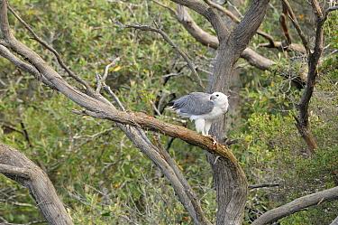 White bellied Sea eagle (Haliaeetus leucogaster) adult in tree eating fish, Tasmania, Australia  -  Dave Watts/ npl