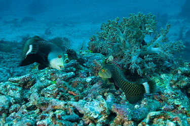 Rockmover wrasses (Novaculichthys taeniourus) moving rocks in search of prey Misool, Raja Ampat, West Papua, Indonesia NOT AVAILABLE FOR MAGAZINE USE IN GERMAN-SPEAKING COUNTRIES UNTIL 1ST JULY 2013  -  Jurgen Freund/ npl