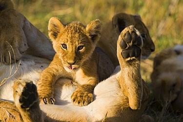 African lion (Panthera leo) young cub (8-weeks) looking up from suckling, Masai Mara Triangle, Kenya  -  Suzi Eszterhas/ npl