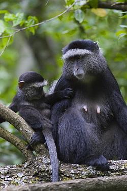 Sykes, Blue Monkey (Cercopithecus mitis) female with young, Masai Mara, Kichwa Tembo Forest, Kenya  -  Suzi Eszterhas/ npl