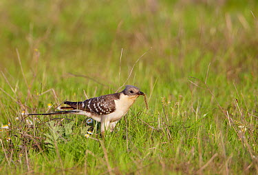 Great spotted cuckoo (Glamator glandarius) with caterpillar in beak, Spain, April  -  Markus Varesvuo/ npl