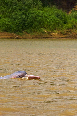 Bolivian pink river dolphin (Inia geoffrensis boliviensis) swimming, River Yapacani, Bolivia  -  Daniel Heuclin/ npl
