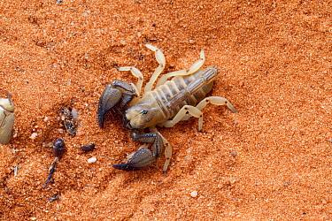 Scorpion (Opistophthalmus fitzsimonsi) on sand, Tswalu Kalahari game reserve, Northern Cape, South Africa, January  -  Ann & Steve Toon/ npl