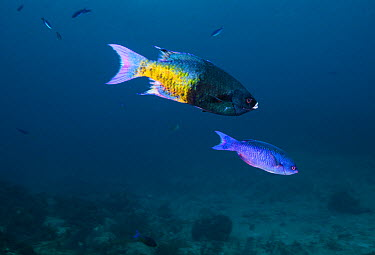 Creole Wrasse (Clepticus parrae) male (top) and female The species is protogynous, all individuals begin life as a female and morph into a male under certain conditions Cancun National Park, Caribbean...  -  Claudio Contreras/ npl