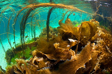 Thong seaweed (Himanthalia elongata) and various other seaweeds in shallow water, Cairns of Coll, Island of Coll, Inner Hebrides, Scotland, UK, North Atlantic Ocean, August  -  Alex Mustard/ 2020V/ npl