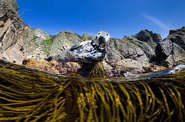 Female Grey seal (Halichoerus grypus) hauled out onto rocks at the base of cliffs, above Thongweed, Spaghetti seaweed (Himanthalia elongata) This female has some fishing line wrapped around her neck L...  -  Alex Mustard/ 2020V/ npl