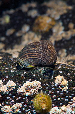 Common edible periwinkle (Littorina littorea) on submerged rocks covered in barnacles and limpets This species in an important herbivore in this habitat Note that eyes are visible in this photo Loch C...  -  Alex Mustard/ 2020V/ npl