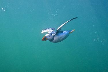 Puffin (Fratercula arctica) swimming underwater, Farne Islands, Northumberland, UK, North Sea, July  -  Alex Mustard/ 2020V/ npl