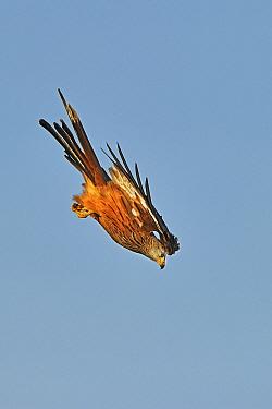 Red Kite (Milvus milvus) diving or 'stooping' Wales, UK, November  -  Andy Rouse/ 2020V/ npl