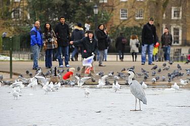 Grey Heron (Ardea cinerea), Regents Park, London UK  -  Uncatalogued/ npl