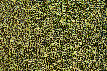 Boulder star coral (Montastrea annularis) polyps of a large colony, East End, Grand Cayman, Cayman Islands, British West Indies, Caribbean Sea  -  Alex Mustard/ npl
