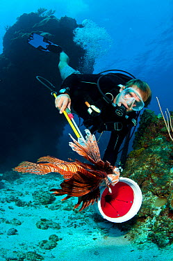 Diver catching a Lionfish (Pterois volitans) in collection tube The Indo-Pacific lionfish are an invasive species on Caribbean reefs and free from natural predators thrive at much higher population de...  -  Alex Mustard/ npl