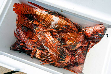 A cooler containing recently culled invasive Lionfish (Pterois volitans) The Indo-Pacific lionfish are an invasive species on Caribbean reefs and free from natural predators thrive at much higher popu...  -  Alex Mustard/ npl