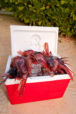 A cooler filled with recently culled invasive lionfish (Pterois volitans) The Indo-Pacific lionfish are an invasive species on Caribbean reefs and free from natural predators thrive at much higher pop...  -  Alex Mustard/ npl
