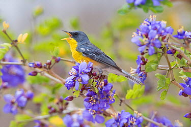 Tropical Parula (Parula pitiayumi graysoni) singing from flowered perch Maria Madre Island, Islas Marias Biosphere Reserve, Sea of Cortez (Gulf of California), Mexico, June  -  Claudio Contreras/ npl