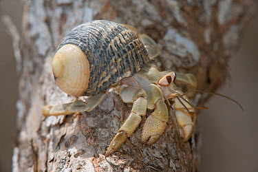 Land Hermit Crab (Coenobita compressus) in nerita snail (Nerita sp) shell, Maria Cleofas Island, Islas Marias Biosphere Reserve, Sea of Cortez (Gulf of California), Mexico, August  -  Claudio Contreras/ npl