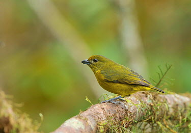 Violaceous euphonia (Euphonia violacea) female perched on branch in mountainous Atlantic Rainforest of Serra Bonita Natural Private Heritage Reserve (RPPN Serra Bonita) municipality of Camacan, Southe...  -  Luiz Claudio Marigo/ npl