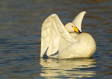 Whooper Swans (Cygnus cygnus) stretching its wings on water Caerlaverock, Scotland, Solway, UK, January  -  Danny Green/ 2020V/ npl