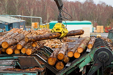 Processing spruce trunks in BSW sawmill, Boat of Garten, Inverness-shire, Scotland, UK, February 2012  -  Mark Hamblin/ 2020V/ npl